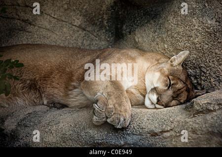 Mountain Lion Felis Concolor schlafend auf Sims USA - Stockfoto