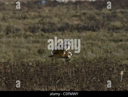 Short-eared Eule (Asio Flammeus) - Stockfoto