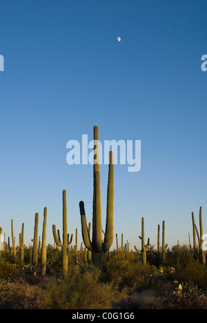 Mondaufgang über ein Feld des Saguaro Kaktus - Stockfoto