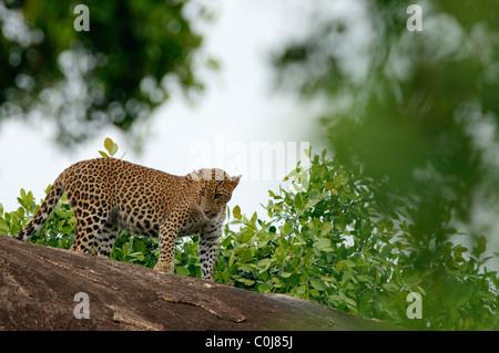 Eine asiatische Leoparden ruht auf einem Felsen Yala-Nationalpark Sri Lanka - Stockfoto