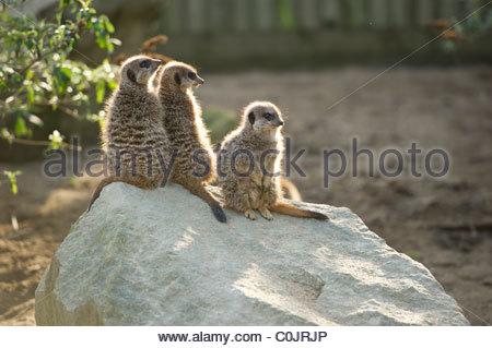 Drei Erdmännchen auf einem Felsen mit einem grünen Busch auf der linken Seite beleuchtet. - Stockfoto