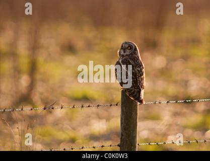 Wilde Short Eared Owl thront auf hölzernen Zaunpfosten in North Lincolnshire - Stockfoto