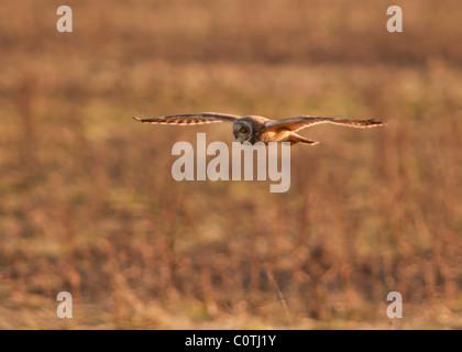 Wilde Short Eared Owl-Jagd über grobe Grasland in North Lincolnshire - Stockfoto