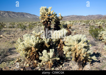 Teddy Bear Cholla Kaktus (Opuntia Bigelovii) in Joshua Tree Nationalpark, Kalifornien. - Stockfoto
