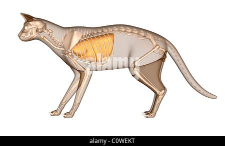 Anatomie der Katze tierärztliche Atemwege Lunge Stockfoto, Bild ...