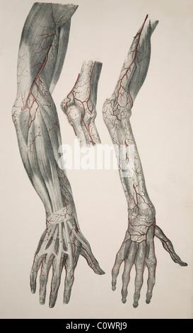 Arm-Arterien, Kunstwerk Stockfoto, Bild: 55697428 - Alamy