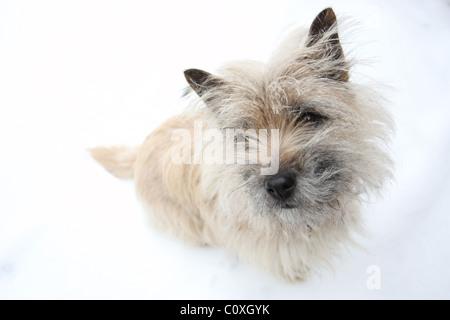 Carin Terrier sitzt im Schnee - Stockfoto