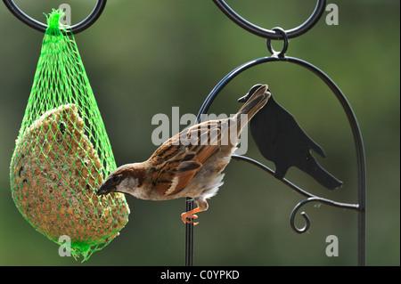 Männliche gemeinsame Haussperling (Passer Domesticus) am Futterhäuschen für Vögel im Garten, Belgien - Stockfoto