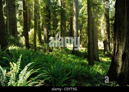 Blick durch die Bäume auf Verdammnis Creek Trail, Del Norte Coast Redwoods State Park, Kalifornien - Stockfoto
