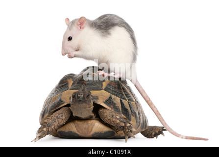 Ratte und Hermanns Schildkröte, Testudo Hermanni, vor weißem Hintergrund - Stockfoto