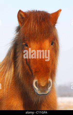 Isländische Pferd (Equus Przewalskii F. Caballus) im Winter, Porträt, Wintermantel - Stockfoto