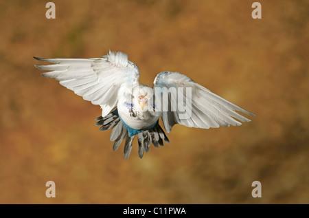 Wellensittich (Melopsittacus Undulatus) - Stockfoto
