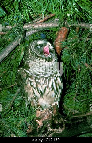 Streifenkauz oder Hoot Owl (Strix Varia) weit verbreitet in Ästen Gähnen - Stockfoto