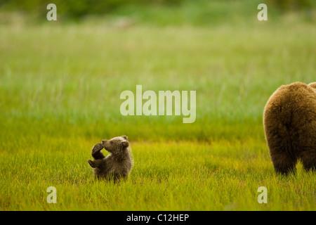 Grizzly Bear Cub spielt, während seine Mutter ernährt sich von Rasen in einer Küstenstadt Wiese. - Stockfoto