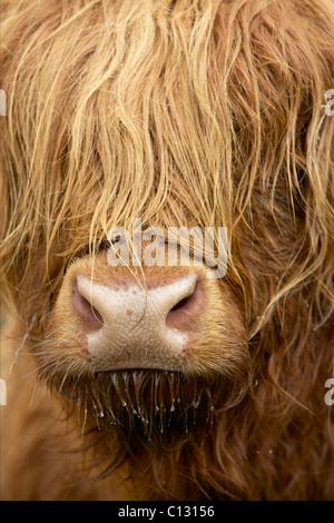 Highland Kuh, Schottland - Stockfoto