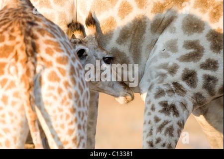 Giraffe (Giraffa Plancius) Kalb saugen, Imire Safari Ranch, Provinz Harare, Simbabwe - Stockfoto