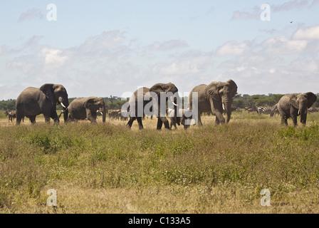 Afrikanischen Bush Elefanten (Loxodonta Africana) Herde auf Serengeti Plains, Tansania - Stockfoto