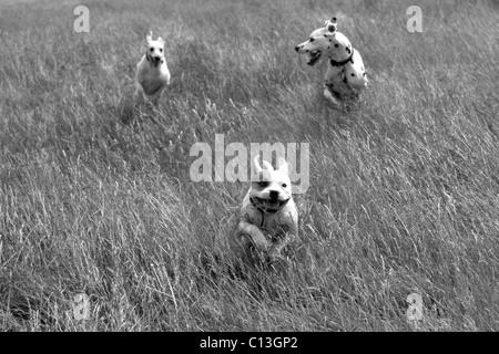 Drei Hunde laufen lange Gras - Stockfoto