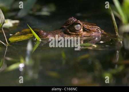Baby Spectacled Kaiman (Caiman Crocodilus) auf einem Teich, Primärwald, Costa Rica, Halbinsel Osa - Stockfoto