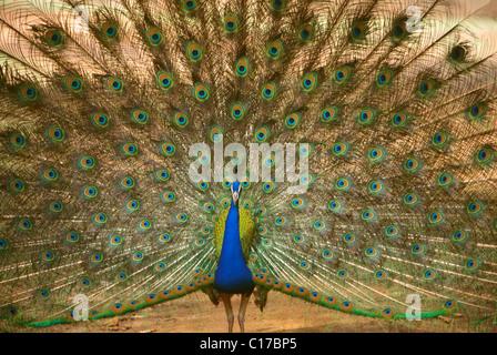 ADI-60127: Vögel; Pfau Pavo Cristatus; Ranthambore; Rajasthan; Indien - Stockfoto