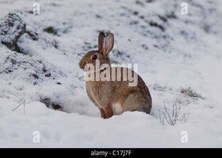 Europäischen Kaninchen (Oryctolagus Cuniculus) sitzen im Schnee im Winter, Deutschland - Stockfoto