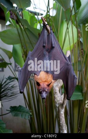 Eine Frucht bat auch bekannt als ein Flughund (Pteropus Vampyrus) in Bali Indonesien - Stockfoto