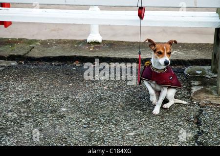 Jack Russell Terrier warten Besitzer zurück - Stockfoto