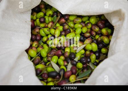 Tasche gefüllt mit frischen Oliven - Stockfoto