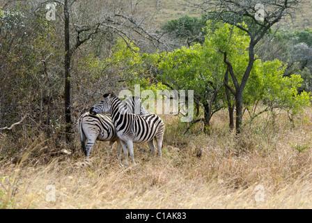 Burchell Zebras, Fellpflege, Hluhluwe Game Reserve, Kwazulu-Natal, Südafrika - Stockfoto