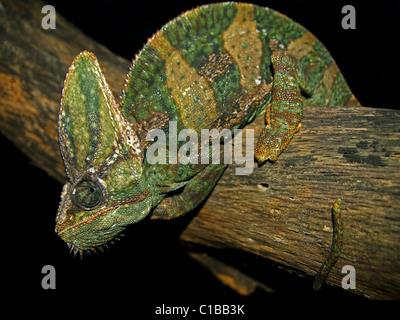 Eines erwachsenen männlichen verschleiert Chamäleon (Chamaeleo Calyptratus) in Florida (wo es ist eine invasiven - Stockfoto