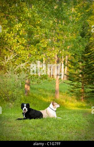Zwei Mischlingshunde posiert auf dem Rasen. - Stockfoto