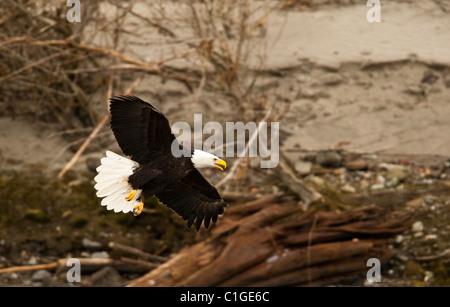 Weißkopf-Seeadler Tiefflug über den Squamish River auf der Suche nach Lachs. - Stockfoto
