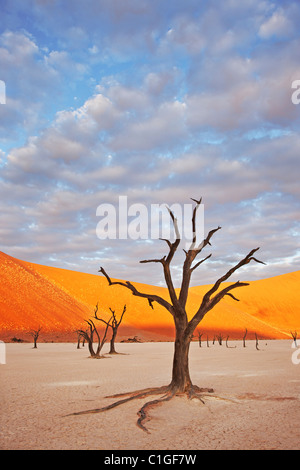 Toten Akazie Baum Sossusvlei in der Wüste Namib. Namib-Naukluft N.P, Namibia - Stockfoto