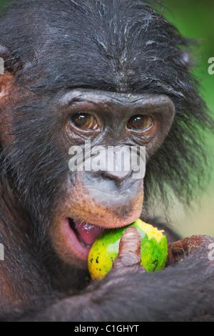 Porträt von Bonobo-Schimpansen am Heiligtum Lola Ya Bonobo, demokratische Republik Kongo - Stockfoto