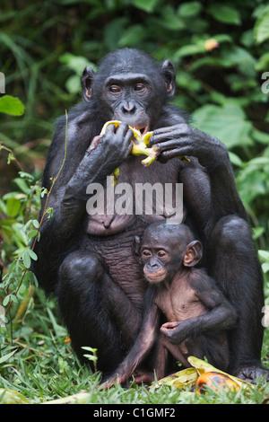 Mutter und Baby Bonobo-Schimpansen bei der Wallfahrtskirche Lola Ya Bonobo, demokratische Republik Kongo - Stockfoto