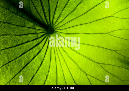 Grüne Lilie Blatt - Stockfoto