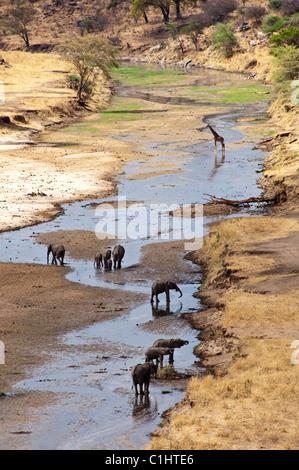 Afrikanischen Bush Elefanten, Wildpark Serengeti, Tansania, Afrika - Stockfoto