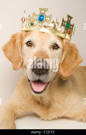 Porträt von Golden Retriever mit einer Krone - Stockfoto
