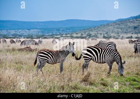 Zebras in Tansania Serengeti Game Drive - Stockfoto