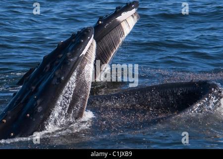 Zwei Buckelwale (Impressionen Novaeangliae) Longe von Krill ernähren. Monterey, Kalifornien, Pacific Ocean. - Stockfoto