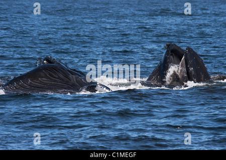 Drei Buckelwale (Impressionen Novaeangliae) Longe von Krill ernähren. Monterey, Kalifornien, Pacific Ocean. - Stockfoto