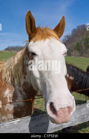 Porträt einer American Paint Horse im Freien. - Stockfoto