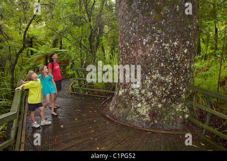 Kauri-Baum und Familie am Manginangina Kauri Walk, Puketi Forest, in der Nähe von Kerikeri, Northland, Nordinsel, - Stockfoto