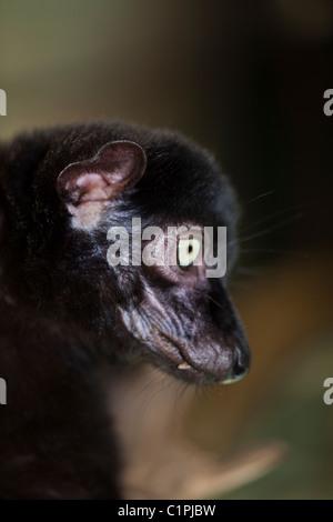 Blauäugige Black Lemur (Eulemur Macaco Flavifrons). Männlich. Außer den Menschen ist dies nur blauäugige Primas. - Stockfoto