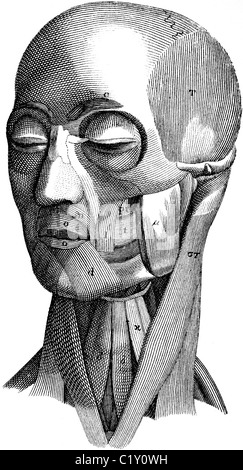 Buchillustration des 19. Jahrhunderts, 9. Ausgabe der Encyclopaedia Britannica, der Muskulatur des Kopfes (1875) - Stockfoto