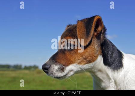 jack russell terrier züchter tirol