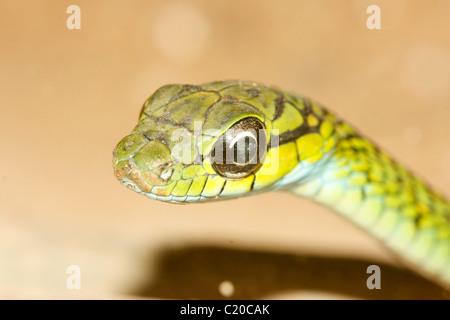 Große Augen grüne Baumschlange (Rhamnophis Aethiopissa) in Uganda - Stockfoto