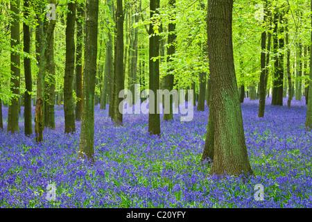 Glockenblumen (Hyacinthoides non-Skript) in Buche (Fagus Sylvatica) Baum Holz, Hertfordshire, England, UK - Stockfoto