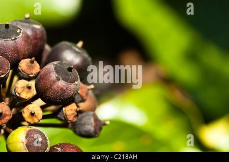 Beeren über gemeinsame oder Englisch Efeu (Hedera Helix) Stockfoto