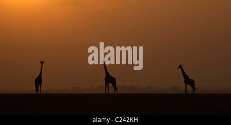 Ein Trio der Giraffe, bei Sonnenuntergang, auf den getrockneten Seegrund in Amboseli NP - Stockfoto